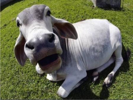 vaca e bois